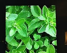 Generic 3 Stevia Pflanzen, Keine Kalorien Natur
