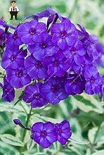 Generische frische 50 Stück Phlox Blumensamen