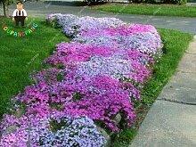 Generische frische 50 Stück Phlox Blumensamen zum