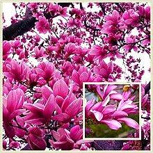 Genie Dunkelrot Yulan Magnolien-Baum-Blumensamen,