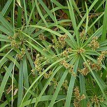 Genipap 10 AGRIMONIA eupatoria Pflanze Samen