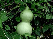Genipap 10 Stück Actinidia Kolomikta Kiwi Pflanze