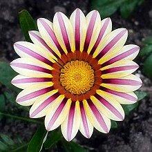 Genipap 10 Stück Pflanze Aesculus Chinensis für
