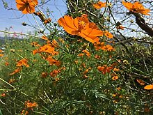 Genipap 100 Stück Creeping Thymian Pflanze Samen