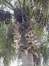 Genipap 100 Stück Fuchsschwanzfarne Pflanze