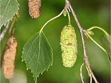 Genipap 100 Stück Peperomia Prostrata Pflanze