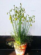 Genipap 100 Trachyandra revoluta Pflanze Samen