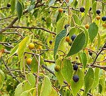 Genipap 100pcs wildpretii Pflanze Samen