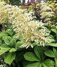 Genipap 150 Rodgersia aesculifolia Pflanze Samen