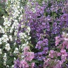 Genipap 20 Acacia tortilis Pflanze Samen