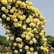 Genipap 20 GELBE KLETTERROSE Blumensamen