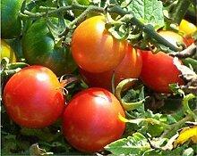 Genipap 20 Gossypium hirsutum Pflanze Samen