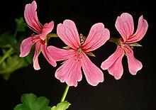 Genipap 30 Dianthus Bodendecker Pflanzensamen