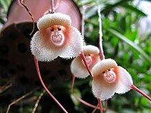 Genipap 30 Stück Acanthus Mollis Pflanze