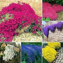 Genipap 50 Stück Bodendecker Chrysanthemenblüte