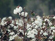 Genipap 50 Stück Parviflora Pflanze Samen