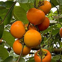 Genipap 8 Patty Pan Squash Pflanze Samen