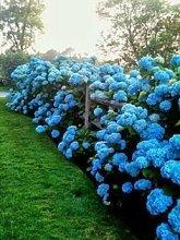 GEOPONICS 10 Blumensamen, schöne Farbe, Hochzeit