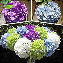 GEOPONICS 100 Samen-Blumensamen, schöne Farbe,