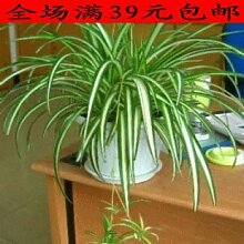 GEOPONICS 20 Samen/pack Chlorophytum Samen Bonsai