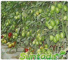 GEOPONICS 2000pcs: Suntoday Garten Indoesnisa Red