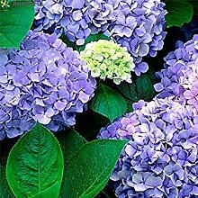 GEOPONICS 20pcs Blumensamen Multi Color Hochzeit