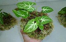 GEOPONICS Aloe Vera Pflanze - Perennial Evergreen