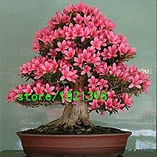 GEOPONICS HoT Rare Bonsai Rose & Rosa Azalee Seeds