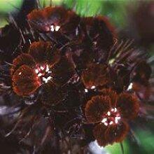 GEOPONICS Seeds - Bartnelke 'Sooty' Seeds