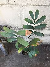 GEOPONICS Zwei (2), e Wurzel Aloe-Pflanze,