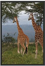 Gerahmtes Wandbild anmutige Giraffen in der Savanne