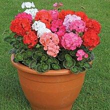 Geranien Samen, Blumensamen Hortensien, Hot Pot