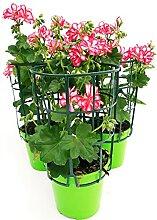 GERANIO PARIGINO ROULETTE, 3 Pflanzen Topf 14,