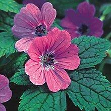 - Geranium Rubifolium Seeds