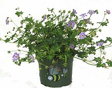 Geranium wallichianum 'Azur Rush'