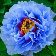 GETSO 10 PC/Los Paeonia Lactiflora Bonsai