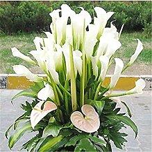 GETSO 100 PC-Calla-Lilien-Bonsai, seltene Pflanzen