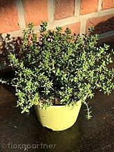 Gewürz Thymian Thymian vulgaris 2stk. Kräuter Pflanze
