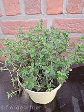 Gewürz Thymian Thymian vulgaris 3stk. Kräuter Pflanze