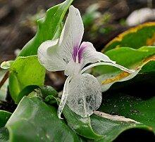 Gewürzlilie Kaempferia galanga Pflanze 5-10cm