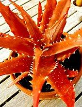 Gfone 50 Stücke Aloe Vera Pflanze Sukkulenten