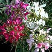 GIANT QUEEN MIX CLEOME/SPIDER-Blumensamen/PERENNIAL