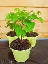 Ginkgo biloba Pflanze Heil Pflanze 3Stk.