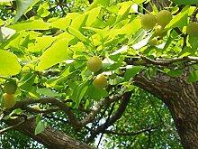 Ginkgobaum Ginkgo biloba Pflanze 70-80cm Baum des