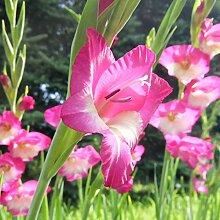 Gladiole Gladiolezwiebeln Hohe Keimrate Pflanze im