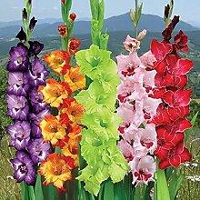 Gladiolenzwiebeln, Gladiolen, Hausgartenbalkon,