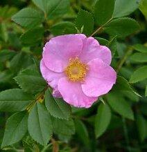 Glanzblättrige Rose 30-40cm - Rosa nitida