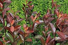 Glanzmispel 'Red Robin' - starke Pflanze im grossen 5lt Topf