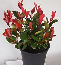 Glanzmispel - Photinia faseri - Little Red Robin.