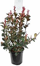 Glanzmispel - Photinia Fraseri Red Robin -